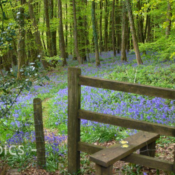 Bluebell Wood, near Trellech