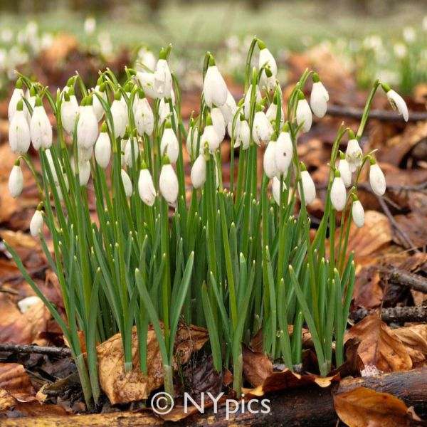 Snowdrops At Welford Park, Newbury. Berkshire