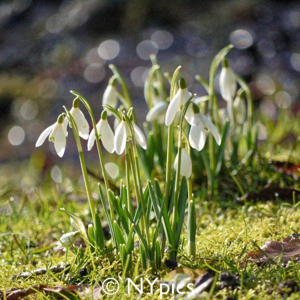 Snowdrops At Batsford