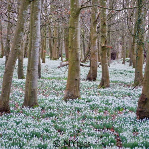 Snowdrops At Welford Park