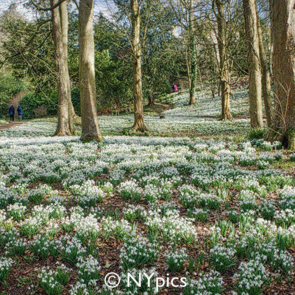 Snowdrops At Painswick Rococo Garden