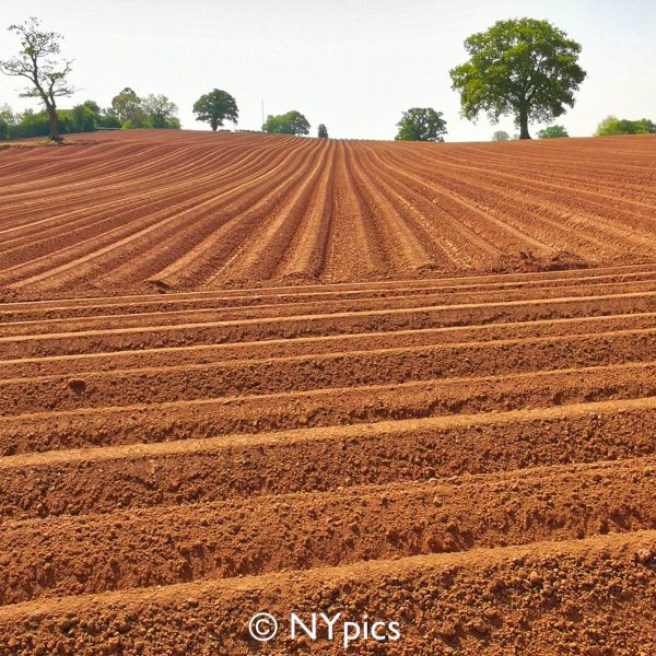 Field Prepared For Planting Potatoes